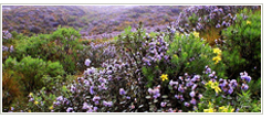 neelakurinji flowering